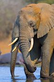African Elephant : Loxodonta Africana : South Africa