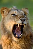 Lion; young male; panthera leo; South Africa