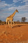 Giraffe; Giraffa Camelopardalis; South Africa; Kalahari desert