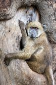 Chacma baboon sitting in a hole of a tree; papio cynocephalus