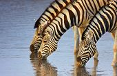 Three zebras drink at a waterhole in Etosha; Equus burchell's