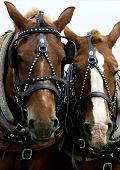 foto of bestiality  - Two Horses - JPG