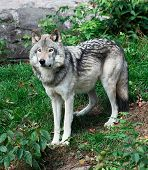 image of quadruped  - Gray Wolf Standing Looking Ahead - JPG