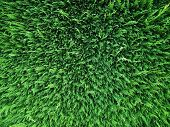 Conifer hedge abstract