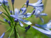 Macro of purple african lily - Agapanthus