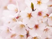 Cherry blossom close up