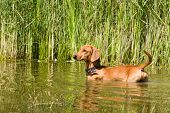 Dog  dachshund hunts in the water