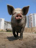 stock photo of smut  - Big pig and modern apartment buildings - JPG