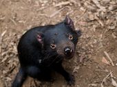 stock photo of taz  - Sarcophilus Harrisii the Tasmanian Devil - JPG