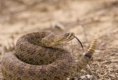 stock photo of western diamondback rattlesnake  - Western rattlesnake strike ready - JPG