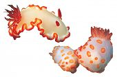 A pair of nudibranches isolated on white background