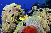 Diver enjoying anemonefishes