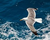 Seagull flying over blue water background