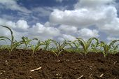 image of zea  - young corn plants in the field and clouds - JPG