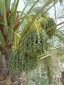 Dates Tree 2