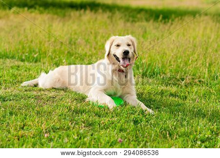 poster of Obedient Golden Retriever Dog With His Owner Practicing Paw Command. Closeup Portrait Of White Retri
