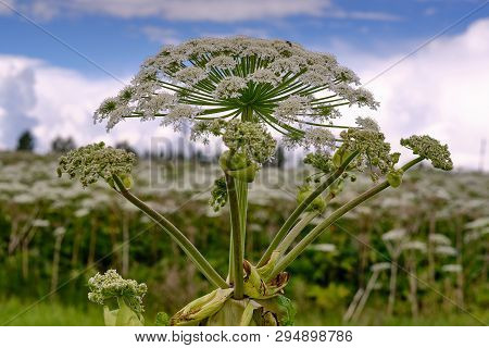 poster of Big Tall, Very Harmful, Fast-growing Weed - Hogweed. The Field Is Completely Overgrown With A Plant