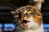 Adorable Cat Face In Ready For Attack. Domestic Kitten Has Open Mouth And Trying Something Say. Colo poster