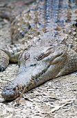 picture of crocodilian  - Freshwater Crocodile - JPG