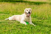 Obedient Golden Retriever Dog With His Owner Practicing Paw Command. Closeup Portrait Of White Retri poster