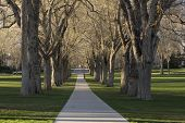 Allee mit alten amerikanische Ulme Bäume das Oval an der Colorado State university