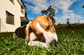 Beagle Dog Chewing Treat Outside On A Grass In The Garden Purebred Wide Angle poster