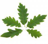 Oak leaf design over white background. Quercus.