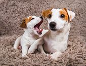 Jack Russell Terrier Adult Mother Dog And Puppy. poster