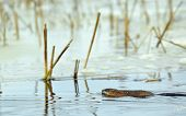 stock photo of muskrat  - Swimming muskrat  - JPG