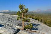 Pine tree on Lembert Dome, Yosemite