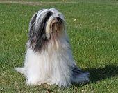 Tibetan Terrier Sitting