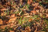 Fallen Leaves In Green Grass Close Up, Fallen Leaves On The Ground poster