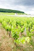 vineyards near Gevrey-Chambertin, Cote de Nuits, Burgundy, France