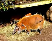 Red River Hog Eating Hay
