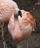 What You Looking At??  Pink Chilean Flamingo Looking At You