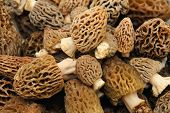 foto of morchella mushrooms  - Morel