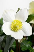 stock photo of helleborus  - Black hellebore Helleborus niger or Christmas Rose - JPG