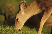 Female Black-tailed Deer