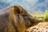 image of pot bellied pig  - vietnam pig - JPG