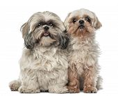 Old Shih Tzu, 14.5 years old, and Shih Tzu, 4.5 years old, sitting and looking at camera against white background