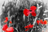 Poppy Flowers - Red Poppies, Corn Poppies - Remembrance Day Symbol.