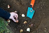 picture of rich soil  - Womans hand planting tulip bulbs in the garden - JPG