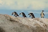 image of jackass  - Jackass African Penguins walking across the rocks at Boulders Beach near Simonstown - JPG