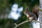 The Red Squirrel (Sciurus vulgaris) On A Pine Branch