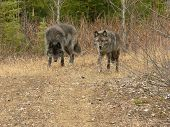 Gray Wolf Pair Walking