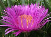 Pink Hottentot Fig Flower
