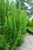Plant Rosemary (Rosmarinus officinalis)