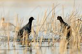 coots on the lake (fulica atra)