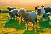 sheep and goats on field in spring