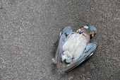 stock photo of blowfly  - Road kill  - JPG